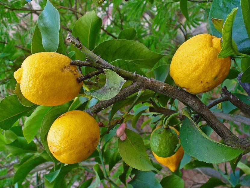 limonero1